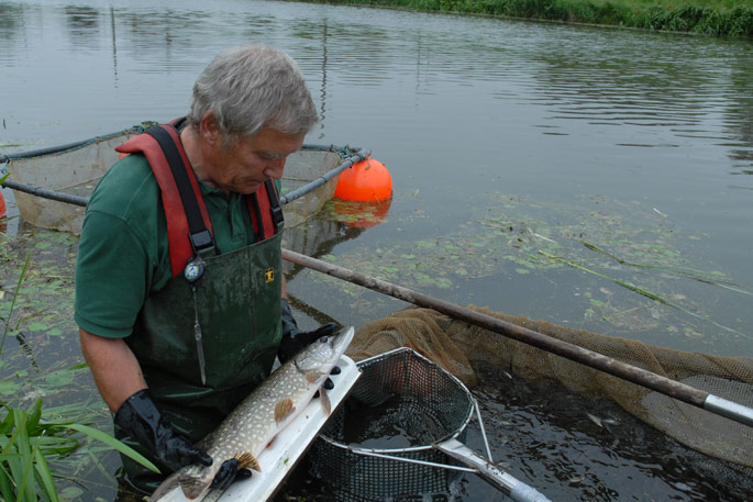 Measuring a Pike fish in the waterways of the Fens, Lincolnshire