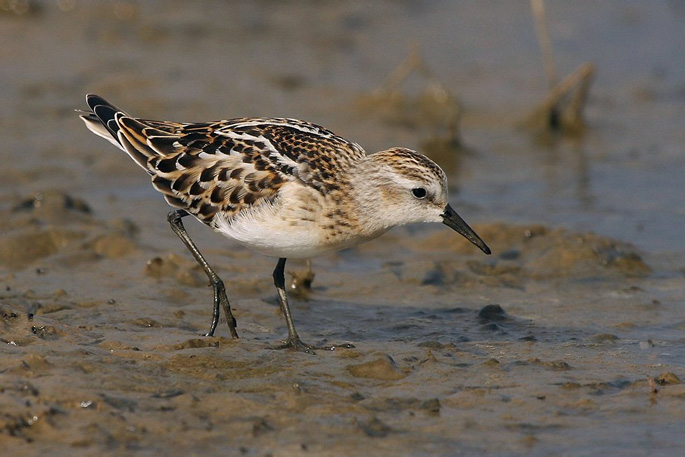 Little Stint - RSPB Freiston Shore
