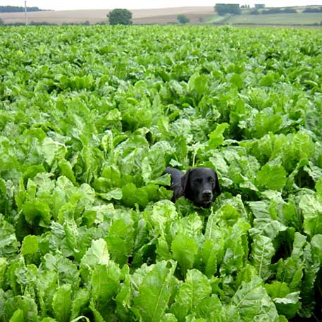 Black Labrador exploring a field of sugar beet in Lincolnshire